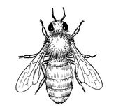Honey bee insect hand draw illustration stock photo