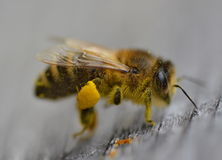 Honey bee insect macro. Background Royalty Free Stock Images
