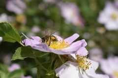 Free Honey Bee Is Collecting Pollen On Flower Of Bush Dog Rose Royalty Free Stock Images - 159428889