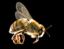 Honey bee isolated on black background. Royalty Free Stock Images