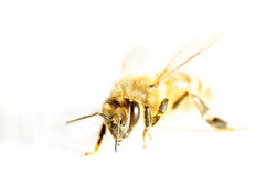 Honey bee isolated in white Stock Image
