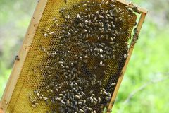 Honey Bee nest in natural light Royalty Free Stock Images