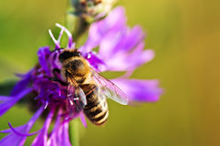 Honey bee on Knapweed Royalty Free Stock Image