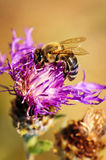 Honey bee on Knapweed Stock Image