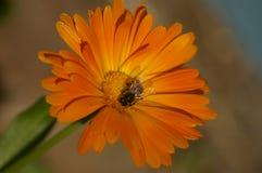 Honey Bee kors som pollinerar en orange blomma royaltyfri fotografi