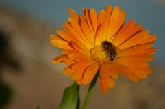 Honey Bee kors som pollinerar en orange blomma royaltyfria bilder