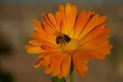 Honey Bee kors som pollinerar en orange blomma arkivbilder