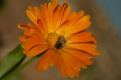 Honey Bee-Kreuz, das eine orange Blume bestäubt lizenzfreie stockfotografie
