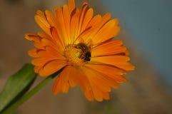 Honey Bee-Kreuz, das eine orange Blume bestäubt lizenzfreies stockbild