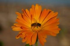Honey Bee-Kreuz, das eine orange Blume bestäubt lizenzfreies stockfoto