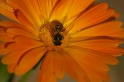 Honey Bee-Kreuz, das eine orange Blume bestäubt lizenzfreie stockbilder
