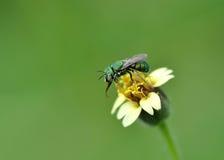 Honey Bee a la flor y recoge el néctar Imágenes de archivo libres de regalías