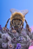 Honey Bee on Lavender. Honey bee collecting pollen from lavender Royalty Free Stock Photos