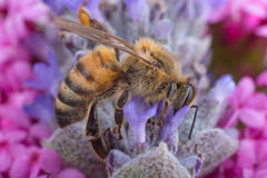 Honey Bee on Lavender. Honey bee collecting pollen from lavender Royalty Free Stock Photo