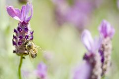 Honey Bee and Lavender Royalty Free Stock Photos
