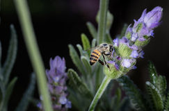 Honey Bee on Lavender Stock Image