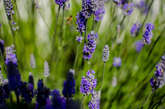Honey bee in lavender field Stock Images