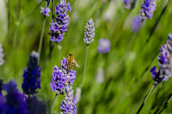 Honey bee in lavender field. Honey bee on lavender pollinating flowers Royalty Free Stock Photo