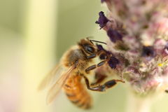 Honey Bee on a Lavender Flower. Macro shot of a honey bee on a lavender flower in Corowa, NSW, Australia Stock Photography