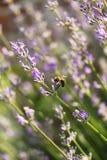 Honey bee on lavender flower Stock Photo