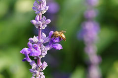 Honey bee on lavender flower. Honey bee is collecting pollen Royalty Free Stock Photo