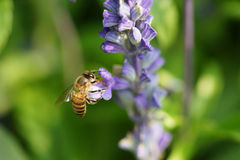 Honey bee on lavender flower. Honey bee is collecting pollen Royalty Free Stock Photos