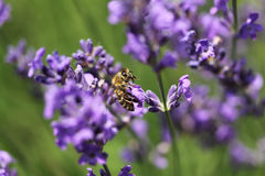 Honey bee on lavender flower. Honey bee is collecting pollen. Stock Image