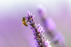 Honey bee on a lavender flower, Provence Stock Image