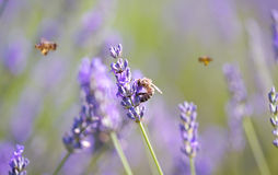 Honey bee on lavender flower Royalty Free Stock Photos