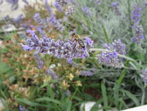 Honey bee on lavender. A honey bee harvesting some lavender in the summer sun Stock Photography