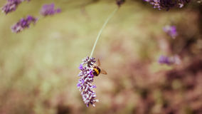 Honey Bee on Lavender. A Honey Bee lands on a purple flower for a rest royalty free stock photos