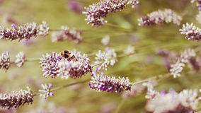 Honey Bee on Lavender. A Honey Bee lands on a purple flower for a rest royalty free stock photography