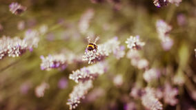 Honey Bee on Lavender. A Honey Bee takes off for flight royalty free stock photos