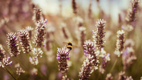Honey Bee on Lavender. A Honey Bee takes off for flight stock photo