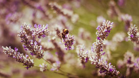 Honey Bee on Lavender. A Honey Bee takes off for flight stock images