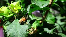 Honey bee on a leaf Stock Image