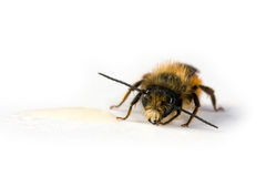 Honey bee licking honey Stock Images