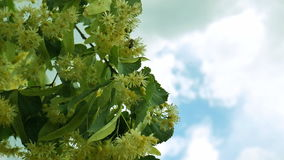 Honey bee on Linden blossom. Blossoming linden branch against sky. stock footage