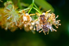 Honey bee in Linden Flowers, Apis Carnica stock images
