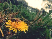 Honey bee. This little worker is always on the job Royalty Free Stock Photography