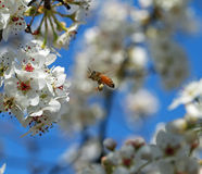 Summer Bee. Honey Bee loaded with pollen Royalty Free Stock Images
