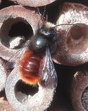 Honey bee looking for a resting or nesting place. Macro image detail stock images