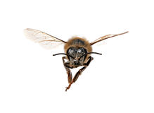 Honey Bee Looking Right At You Stock Image