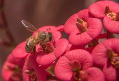 Honey Bee macro Fotos de archivo libres de regalías
