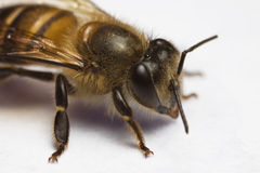 Honey Bee Macro close up. On white screen stock images
