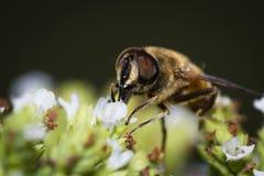 Honey bee macro Royalty Free Stock Photo