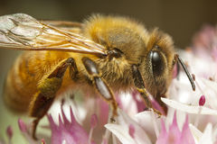 Honey bee Royalty Free Stock Images