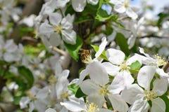 Honey Bee Macro en primavera, las flores blancas del flor de la manzana se cierra para arriba, la abeja recoge el polen y el néct Imagen de archivo libre de regalías
