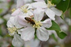 Honey Bee Macro en primavera, las flores blancas del flor de la manzana se cierra para arriba, la abeja recoge el polen y el néct Fotos de archivo