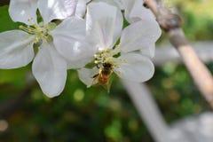 Honey Bee Macro en primavera, las flores blancas del flor de la manzana se cierra para arriba, la abeja recoge el polen y el néct Foto de archivo